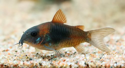 ... Forum ? View topic - Are Corydoras Venezuelanus easy to breed
